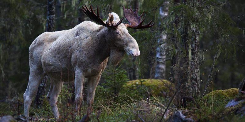 Wildlife-spotten-in-Zweden