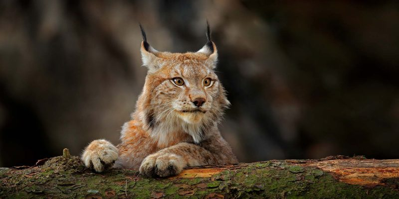 Wildlife-spotten-in-Zweden-lynx