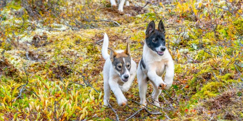 Aurora-mountain-lodge-Lapland-husky-puppy's-rennen