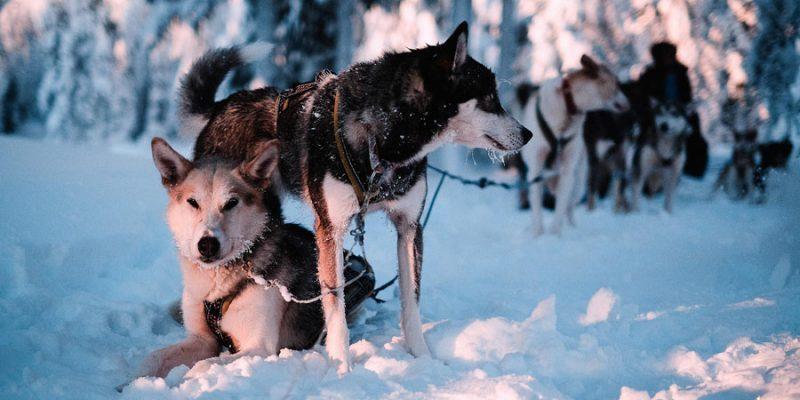 Een onvergetelijk moment met de huskys in Lapland