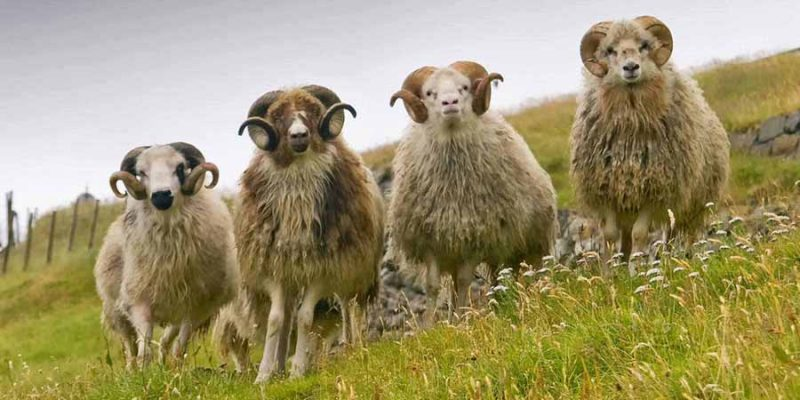 IJsland-vier-schapen-in-het-groen
