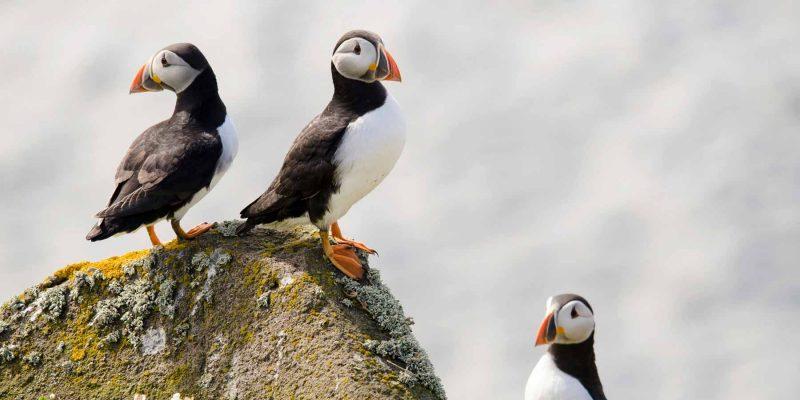 IJsland papegaaiduikers in de zomer