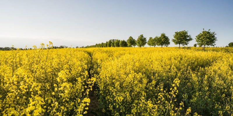 gele koolzaadvelden in Skane Zweden