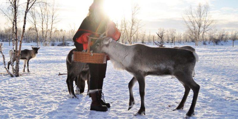 rendieren eten gaven samen met de Sami in Lapland