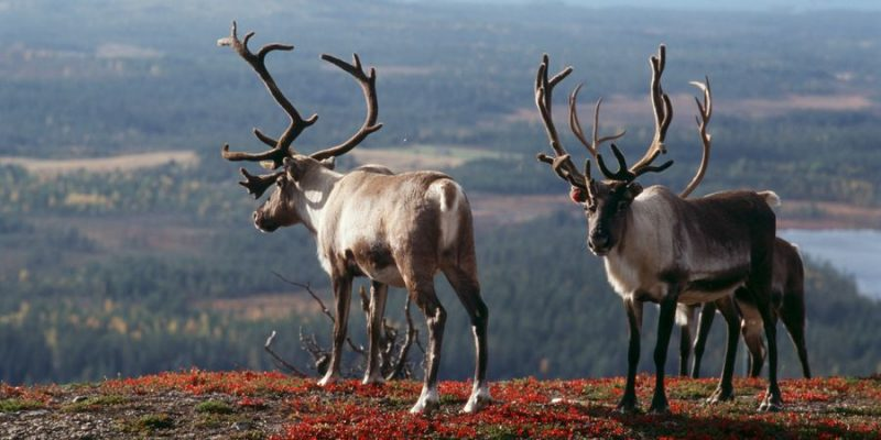 rendieren spotten in Lapland