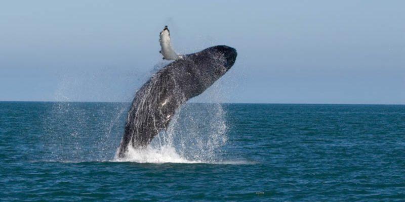 walvissen-spotten-in-IJsland-zomeractiviteit