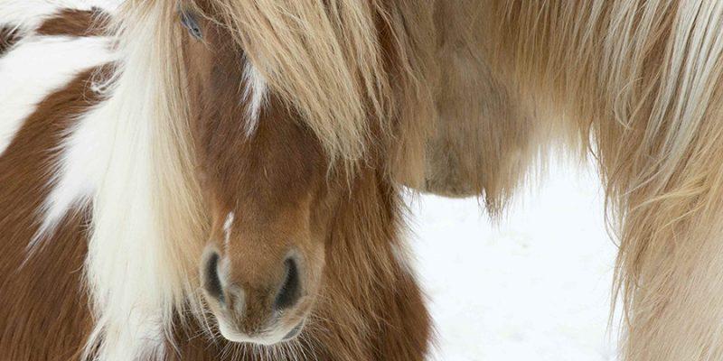 IJsland-paarden-©-Nordic