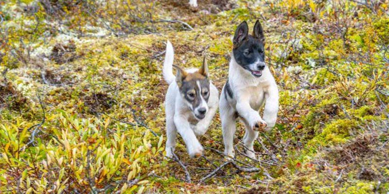 Lapland-husky-puppy's-rennen