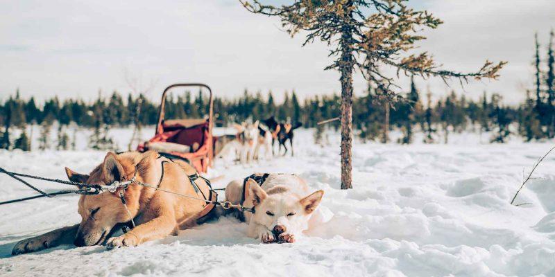 husky's-chillen-in-de-sneeuw