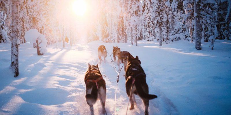 Husky in Winters Lapland