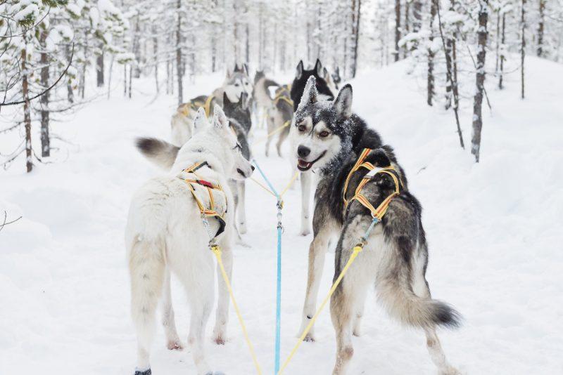 Verblijf in een lodge - Winters Lapland - Huskytocht