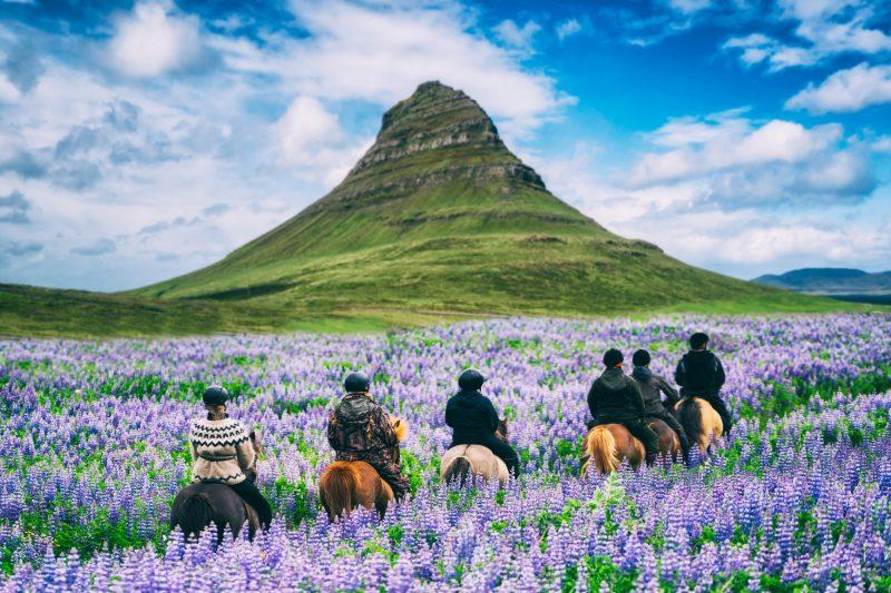 Paardrijden op IJsland tussen de lupines