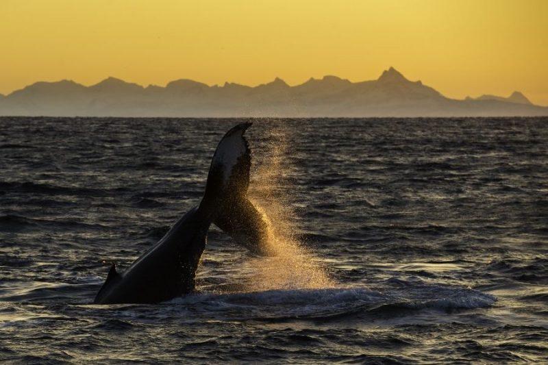 Walvissen bij de Noorse kust