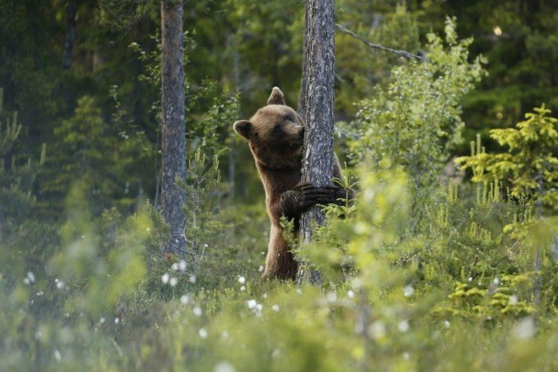 Beren spotten vanuit een kijkhut