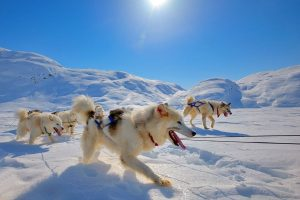 Huskyhonden in de sneeuw in Groenland met Nordic
