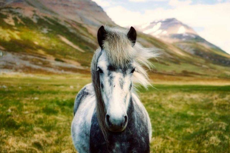 IJslander paard in IJsland met Nordic