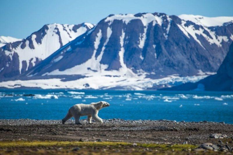 Ijsbeer in Spitsbergen reizen met Nordic