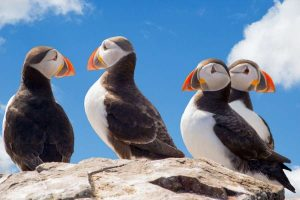 Papegaaiduikers in IJsland reizen met Nordic