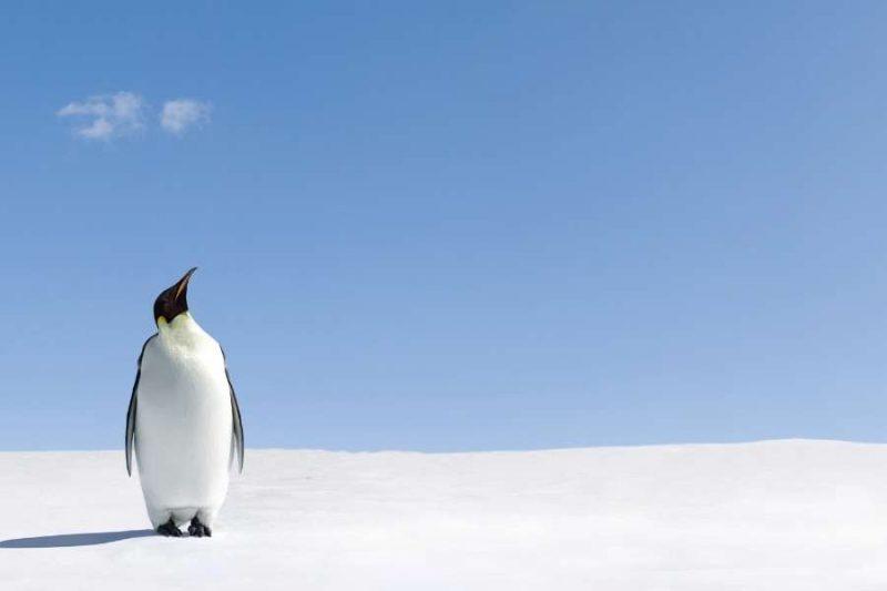 Pinguin op Antarctica met Nordic
