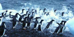 Pinguins springen in het water op exploratiereis met Nordic