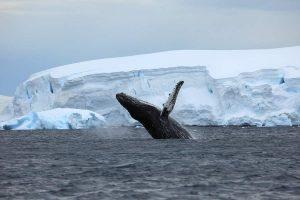 Walvis in het water in Antarctica met Nordic