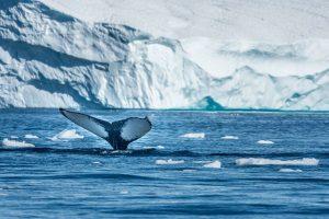 Walvis spotten in Groenland reizen met Nordic