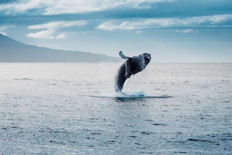 Walvissen spotten op IJsland op exploratiereis met Nordic