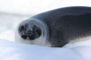 Zeehond in groenland in de sneeuw met Nordic