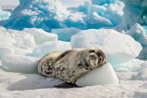 Zeehond in slaap op Antarctica met Nordic