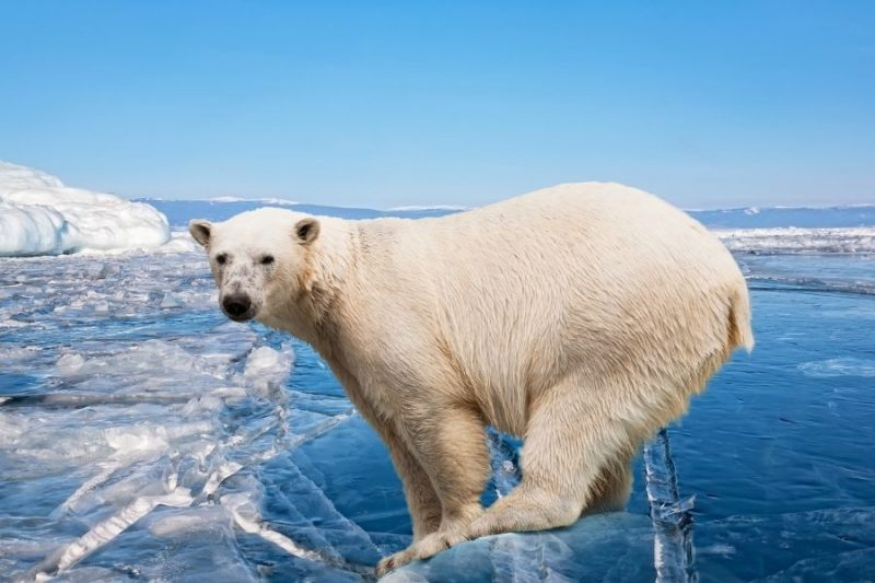 De populatie ijsberen wordt gewaarborgd