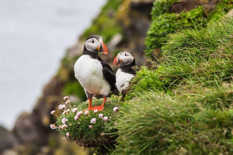Papegaaiduikers op de Faeröer eilanden met Nordic