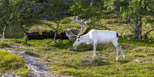 Sami rendier Lapland - reizen met Nordic