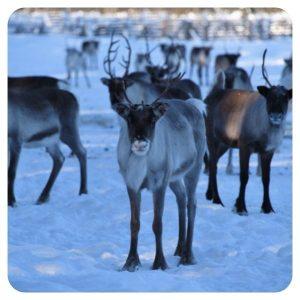 Rendieren Lapland